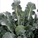 brokoli-izk-iskra
